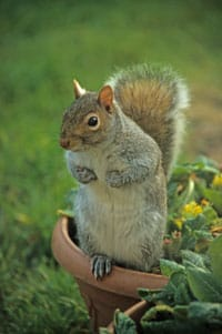 Squirrels are the top garden pest