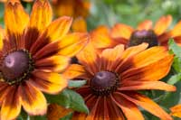 Rudbeckia 'Cappuccino' makes huge impact