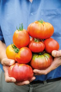 Beefsteak tomatoes from a Which? trial