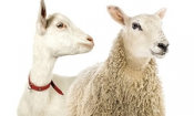 Which? finds fake goats' cheese in shops