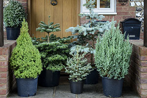 A collection of Christmas tree varieties