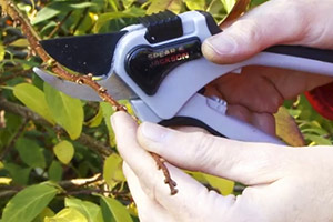 Pruning with secateurs