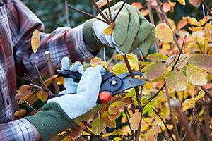 Autumn pruning