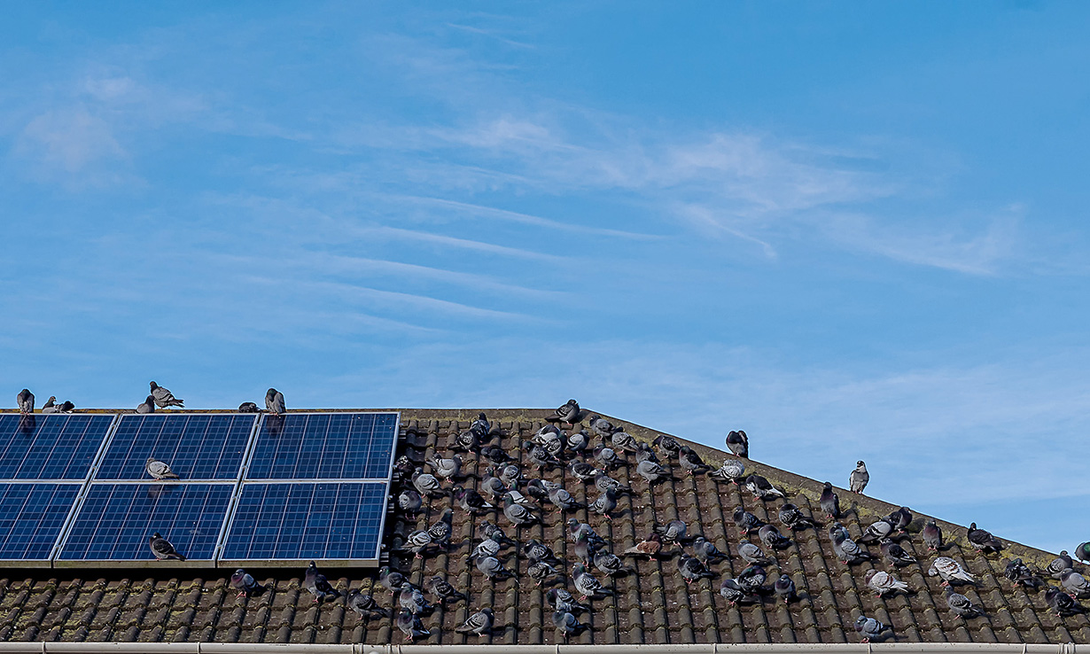 Pigeons on solar panels