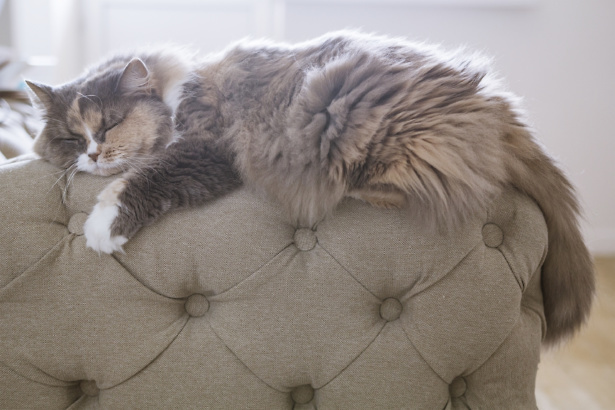 Cute fluffy cosy cat asleep on the back of a sofa