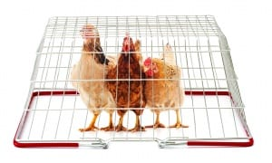 The labels and lingo supermarkets use to get you to buy their chicken