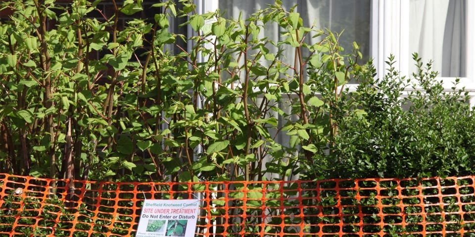 Are mortgage lenders 'overly cautious' about properties with Japanese knotweed?