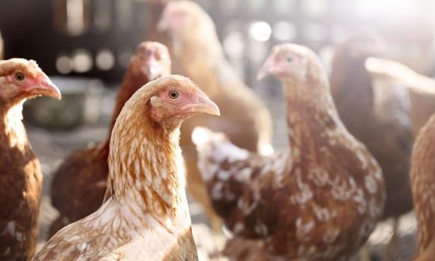chlorinated chicken - photo #16