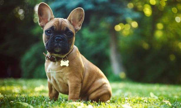 A french bulldog, one of the costliest breeds to insure.