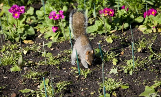 Grey squirrel in a flower border