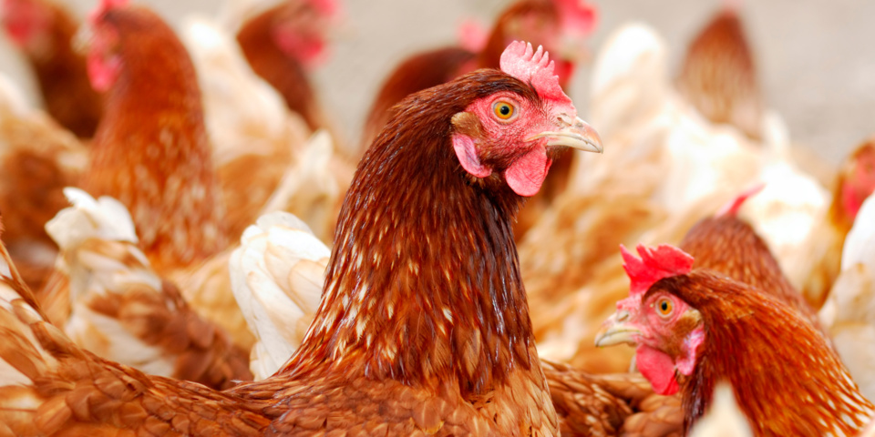 New levels of bacteria in UK chicken revealed