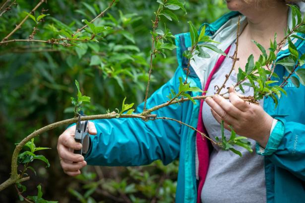 Pruning back the flowering shoots on early-flowering spring shrubs - forsythia