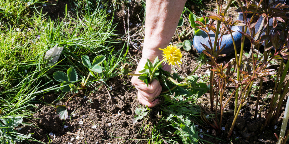 Tough garden weeds and how to kill them