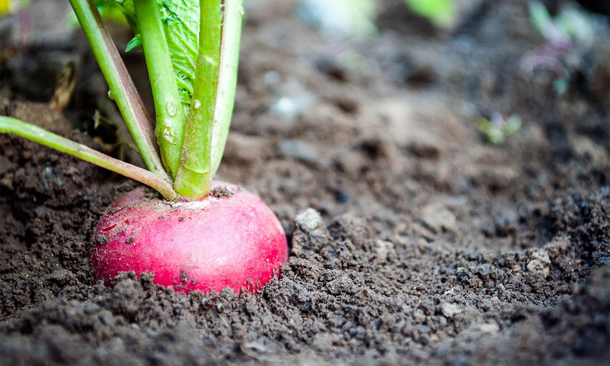 radish in ground