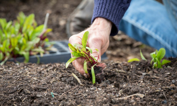 Planting beetroot