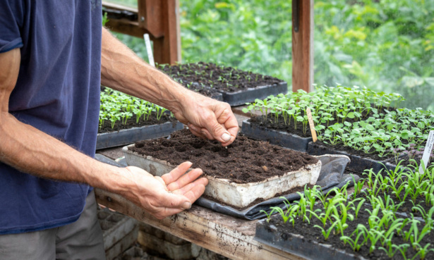Sowing veg seed