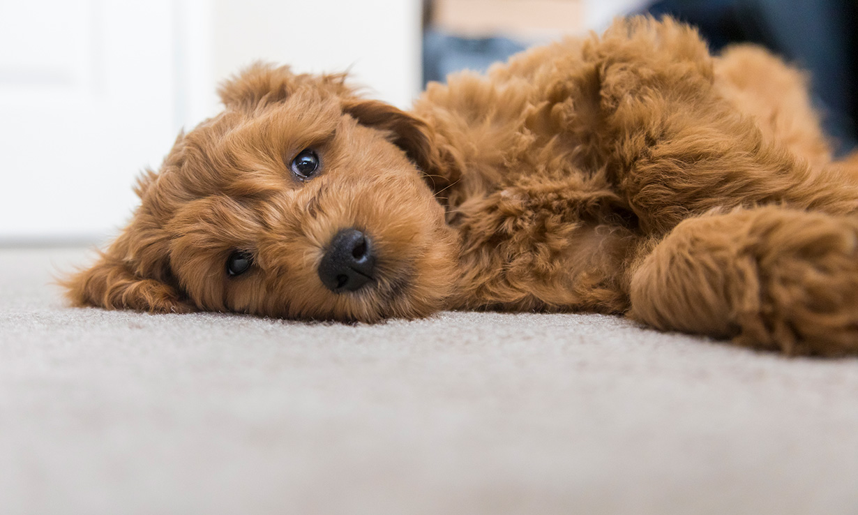 Hairy dog on a carpet
